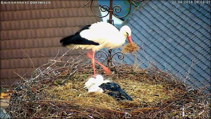 Storch Stroh