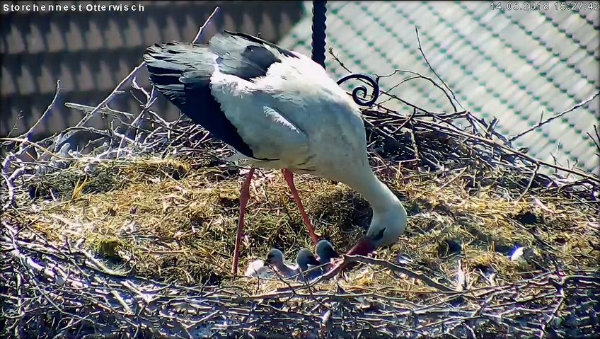 Storch 2018 Nr123