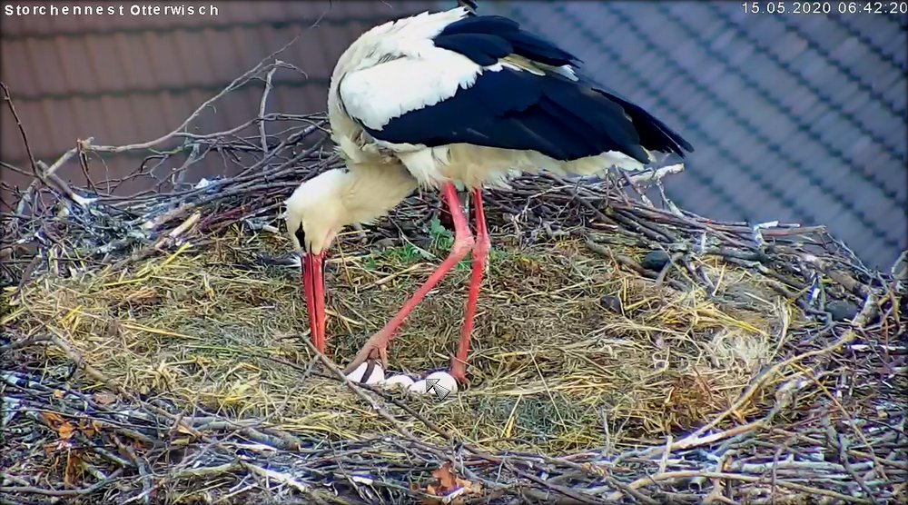 Storch1Junges